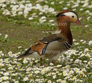 Male Mandarin Duck, Aix galericulata, at Martin Mere waterbird habitat / wetlands at Burscough, Lancashire, England