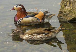Male and female Mandarin Ducks, Aix galericulata, at Martin Mere waterbird habitat / wetlands at Burscough, Lancashire, England