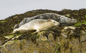 Atlantic / grey seal with pup on rocks near the Farne Islands off the coast of Northumberland, England.