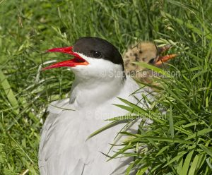 Arctic tern, Sterna paradisaea, on her nest with a chick on the Farne Islands, off the coast of Northumberland, England.