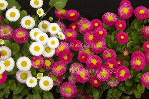 gardens and flowers, Cluster of red and white daisies, Bellis perennis, Tasso series