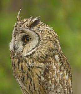 British eagle owl, Bubo bubo, at Muncaster Castle near Ravenglass, England.