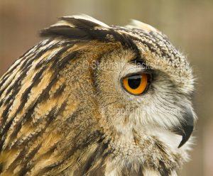 Close-up of face of British eagle owl, Bubo bubo, at Muncaster Castle near Ravenglass, England.