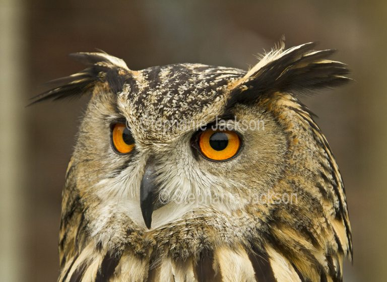 Birds of Britain - Close-up of face of British eagle owl, Bubo bubo, at Muncaster Castle near Ravenglass, England.
