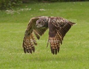 British eagle owl in flight at Muncaster Castle near Ravenglass, England.