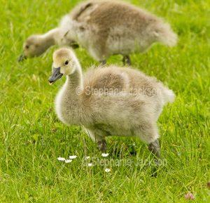 Gosling of Canada goose, Branta canadensisat Newport wetlands in Wales.
