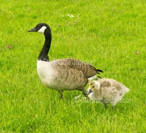 Canada goose and gosling at Newport wetlands in Wales.