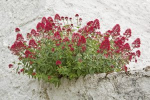 British wildflowers, Red Valerian, Centranthus ruber, growing on wall at Beamaris on the island of Anglesey in Wales.