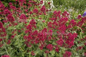 British wildflowers, cluster of flowers of Red Valerian, Centranthus ruber.