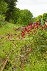 British wildflowers, Red Valerian, Centranthus ruber, growing beside disused railway track near Criccieth in Wales.