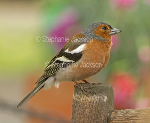 Chaffinch, Fringilla coelebs at the ruins of Rievaulx abbey on the North Yorkshire Moors, Englan