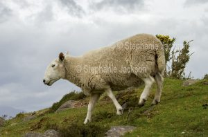 Cheviot sheep, a native British breed, in northern England.