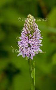 British wildflowers, Common Spotted Orchid, Dactylorhiza fuchsii.