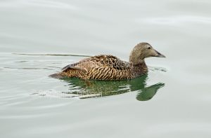 Eider duck, Somateria mollissima. on the water of the harbour at Seahouses in Northumberland, England.