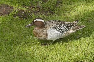 Garganey duck, Anas querquedula, at Martin Mere waterbird habitat / wetlands at Burscough, Lancashire, England.