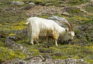 Kashmiri goat on the Great Orme at Llandudno in Wales.