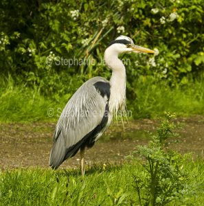 Grey heron, Ardea cinerea, beside the Bridgewater canal near Preston Brook, England.