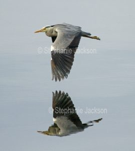 Grey heron, Ardea cinerea, in flight and reflected in calm water of the ocean at the island of Bute in Scotland.
