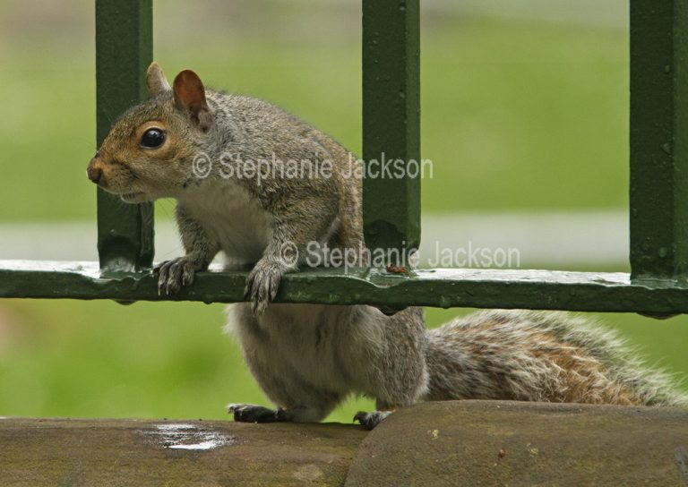 Grey squirrel in a park in Chester, England.