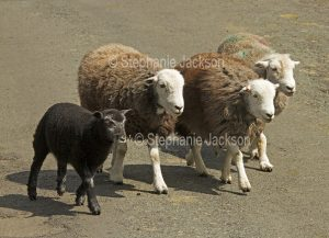 Herdwick sheep, a British native breed, with a lamb, in the Lake District, Cumbria, England.