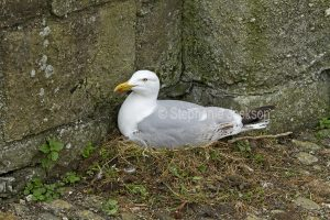 Herring gull, Larus argentatus, sitting on her nest at Beaumaris castle on the island of Anglesey in Wales.