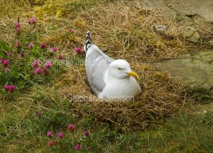 Herring gull, Larus argentatus, sitting on her nest.