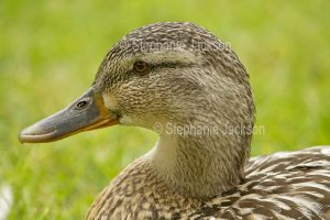 Close-up of face of female Gadwall duck, Mareca strepera, near Bakewell in Derbyshire, England.