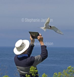 A man using a digital tablet to photograph an Arctic Tern, Sterna paradisaea, on the Farne Islands, off the coast of Northumberland, England.