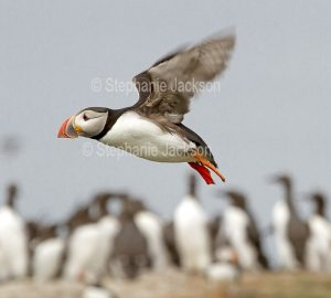 Puffin, Fratercula arctica, in flight, on one of the Farne Islands off the coast of Northumberland, England.