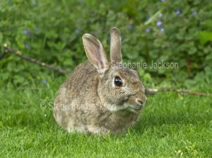 Wild rabbit on the lawn of a caravan park at Chirk in Wales.