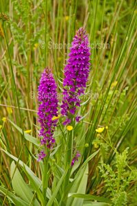 Flowers of Dactylorhiza praetermissa, Southern Marsh Orchid at Newport wetlands in Wales.