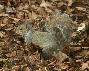 Grey squirrel in England.
