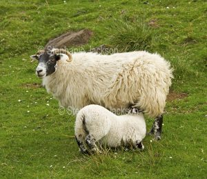 Swaledale sheep with lamb in the Lake District, Cumbria, England.
