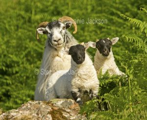 Swaledale sheep with two lambs in the Lake District, Cumbria, England.