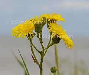Flowers of a Taraxacum species, a Dandelion at Spurn Point, England.