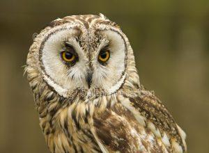 Tawny owl, Strix aluco, at Muncaster Castle near Ravenglass, England.