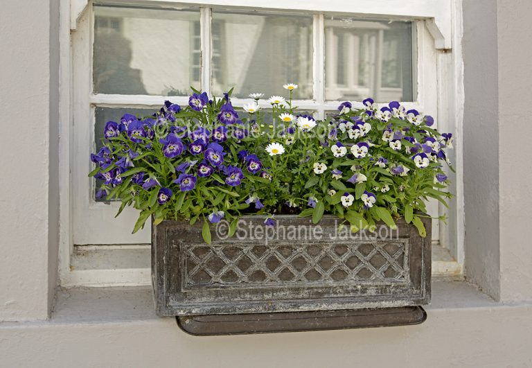 Decorative window box with purple and white violas / pansies and ox-eye daisies at Dunkeld in Scotland.