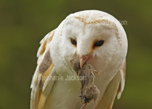 Barn owl, Tyto alba, with a mouse in its bill, at Muncaster Castle near Ravenglass, England.