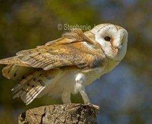 Barn owl, Tyto alba, at Muncaster Castle near Ravenglass, England.