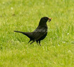 Blackbird, Turdus merula, with its bill full of worms.