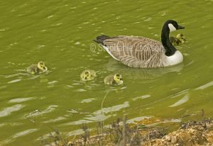 Canada goose and goslings at Bakewell in Derbyshire, England