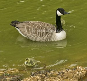 Canada goose and gosling at Bakewell in Derbyshire, England