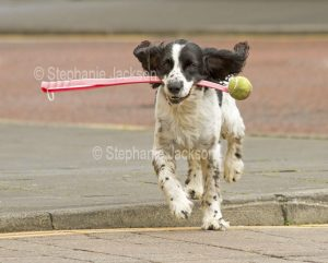 Dog running with a ball, in England.