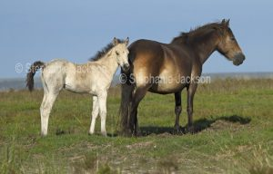 Exmoor pony mare, a native British horse breed, with her unusual white foal on the moors at Exmoor in England.