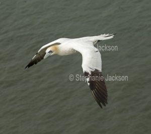 Gannet, Morus bassanus, in flight over ocean in England.