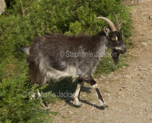 Wild goat in the highlands of Scotland.