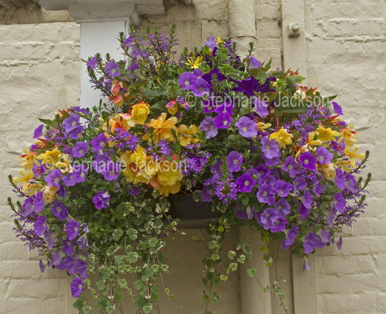 Hanging basket with purple petunias and yellow begonias.