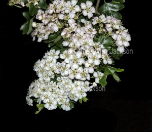 British wildflowers, cluster of perfumed flowers of Hawthorn, Crataegus monogyna, an evergreen tree.