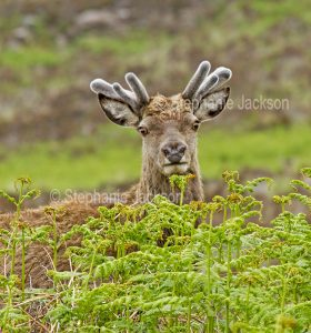 Red deer in the wild in the Scottish highlands.