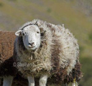 Herdwick sheep ewe, a British native breed, in the Lake District, Cumbria, England.
